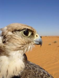 falcon desert Dubai 2